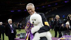 伝統の米ドッグショー、今年はビション・フリーゼに栄冠