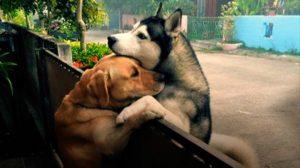 ハスキー犬とラブラドール犬 かけがえのない友情