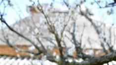 孫文ゆかりの白梅、咲き始める 荒尾市