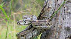 冷血イメージのニシキヘビ、献身的な子育てぶりが明らかに