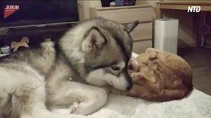 ハスキーが大好きなネコちゃん、やっと振り向いてもらえたのに・・