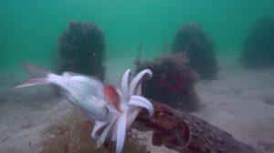 イカの巧みな餌食捕獲シーン