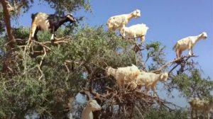 世にも奇妙な山羊の木