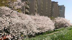 桜の写真を撮ってiPhoneXと7の写真を比較してみたら、iPhoneXが欲しくなった!