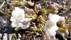 東京都心で桜が開花 平年より9日早く