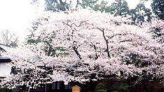 春間近! 今年行ってみたい注目の桜絶景スポットランキング