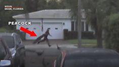 マイアミのくじゃく泥棒、くじゃく仲間が追いかける!