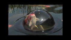 池の金魚が拡大して見える優れもの!