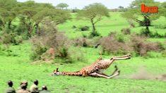 絶滅危惧種のキリン、ロスチャイルドを保護