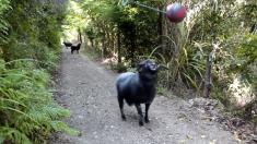 山道の隠しカメラは見た! 球技の天才の羊が豪快なプレー