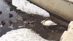 白鳥がいつも湖で片付けているゴミ・・・地球の環境汚染はここまで迫っている