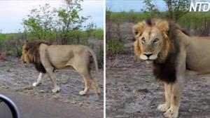 【アニマル】仏の顔も三度まで 突然キレたライオン