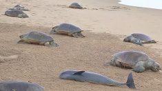 【動画】大悲報 砂浜にオリーブヒメウミガメ150匹 産卵中ではなかった‥‥
