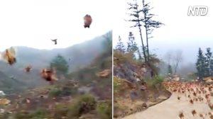 【中国】農夫が笛を吹くと、ニワトリの大群が飛んで来た!