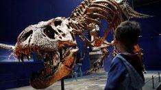 本物の恐竜Tレックスの化石、パリ自然史博物館で初めて展示