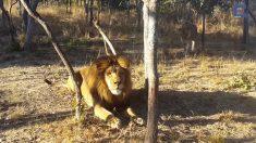 【動画】ぬぼーっと日向ぼっこするライオン、忍び寄る怪しい影…誰かと思ったら!!