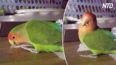 【❓】紙を噛み切って、羽毛に差し込むボタンインコ