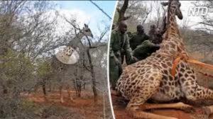 【アニマルレスキュー】密猟者の罠にかかったキリンを救え!