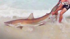【釣り】砂浜から 2.5メートル級のサメを釣り上げ 記録後リリース