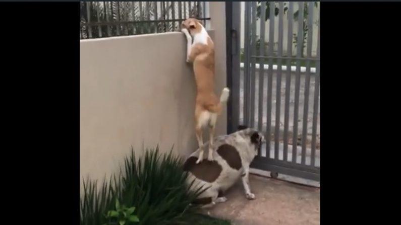 【犬の好奇心】隣の塀の向うにいる犬が気になってしょうがないボニーは…