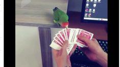 【手品】ありふれたカードマジック でもカードを選ぶのはインコ⁉