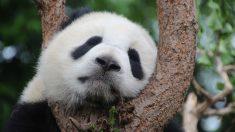 【和歌山】ジャイアントパンダの赤ちゃん誕生!体重わずか75g 授乳中