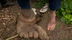 土の中から現れたのは巨人の足!?に見えるジャガイモ=ブラジル