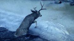 【アニマルレスキュー】凍り付く川岸でもがく雄鹿を警官が救出