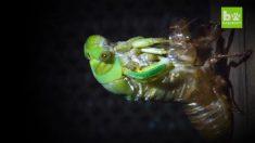 【セミ】メタモルフォーゼ 幼虫が羽化してエメラルド色の成虫になるまで