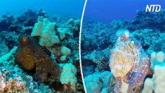 【自然】一瞬で色が変化するタコの擬態 近づいてよく見るとチカチカ点滅