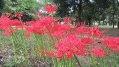 【秋の花といえば‥‥】色鮮やかな花色と、根には強い毒性を持つ彼岸花