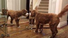 【ワンコの胸に去来する想いは?】初めて鏡を見たラブラドール犬