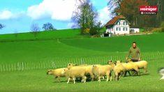 【羊飼い】秒速で羊の毛を刈る達人技 ただし、暑い夏しか刈りません