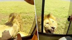 【アフリカ】サファリでライオンがよそ見してる隙になでようとした猛者現る
