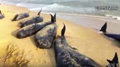 【鯨レスキュー】全員火の玉団結 浜辺に打ち上げられた100匹のクジラ