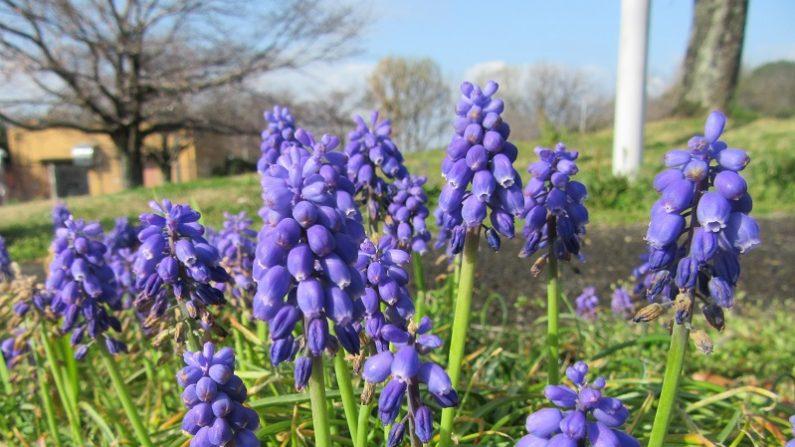 【散歩道で見た花や風景】ムスカリ