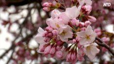 【動画ニュース】ワシントンでも花見シーズン 観光客が春の訪れを満喫