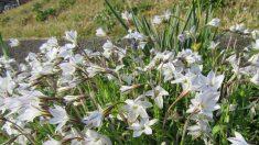 【散歩道で見た花や風景】花にら