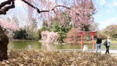 【動画ニュース】ニューヨークにも桜の季節到来 観光客で賑わうブルックリン植物園