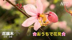 台湾・台南の花旗木(シャワーツリー)