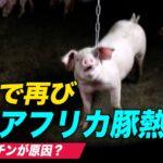 中国で再び新型アフリカ豚熱を確認  海外メディア「偽ワクチンが原因」【中国一分間】