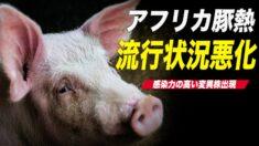 【中国1分間】中国のアフリカ豚熱の流行状況が悪化 感染力の高い変異株出現